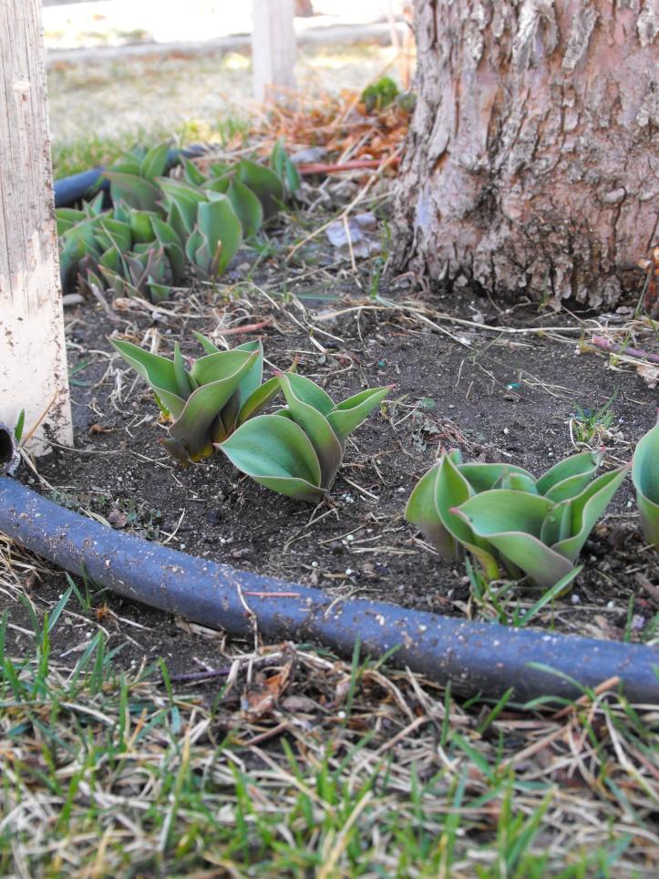 tulip coming